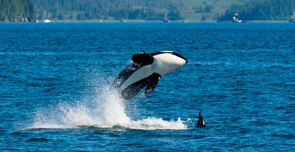 Orca Whales by Dave Bezaire #freeTilikum