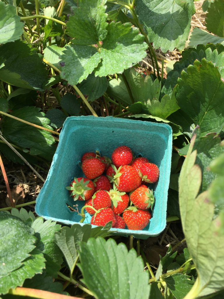 Picking some Delicious and Nutritious Strawberries